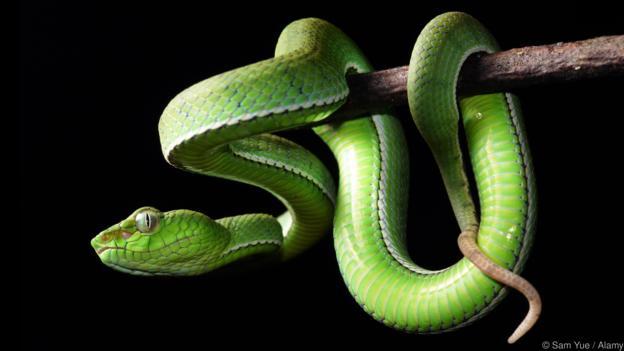 Какво представляват всъщност легендарните човекоядни змии на Борнео
