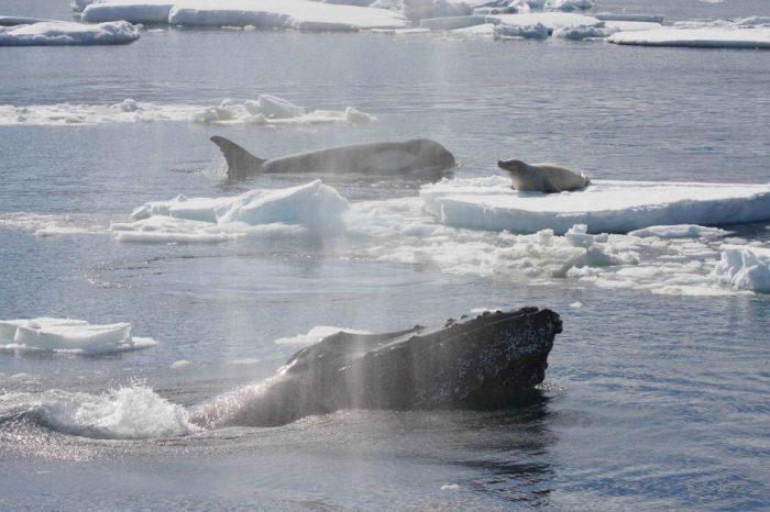Защо гърбати китове защитават други животни от косатки