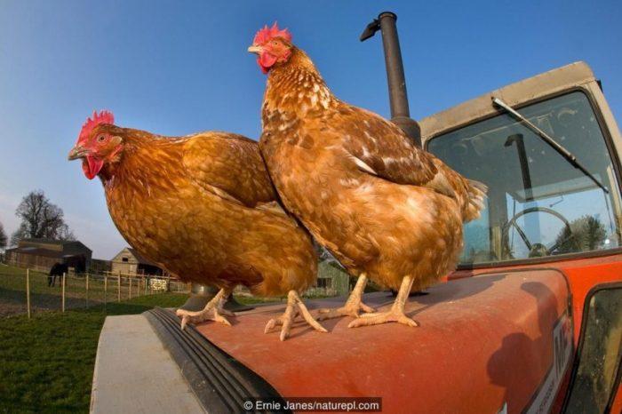 Въпреки че сигурно мислите другояче, пилетата не са глупави