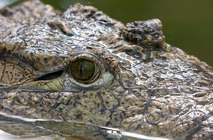 Крокодилските очи са оптимизирани за дебнене