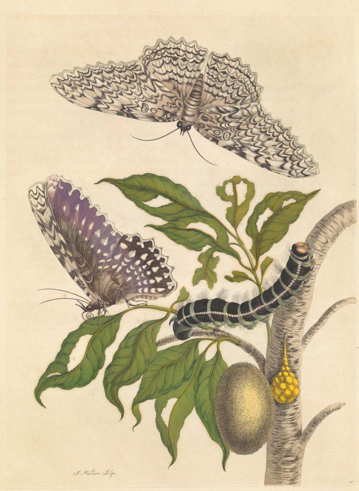 В някои от рисунките на Мериан пеперудите и гъсениците не съвпадат. Credit: MARIA SIBYLLA MERIAN, METAMORPHOSIS INSECTORUM SURINAMENSIUM, AMSTERDAM 1705, THE HAGUE, NATIONAL LIBRARY OF THE NETHERLANDS