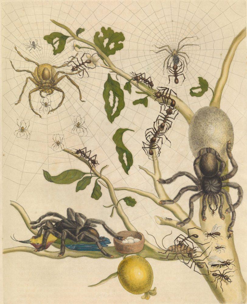 Илюстрация на Мериан на тарантула, поглъщаща колибри, е била критикувана като невъзможна по време на Викторианската ера, но по-късно е потвърдена. Credit: MARIA SIBYLLA MERIAN, METAMORPHOSIS INSECTORUM SURINAMENSIUM, AMSTERDAM 1705, THE HAGUE, NATIONAL LIBRARY OF THE NETHERLANDS