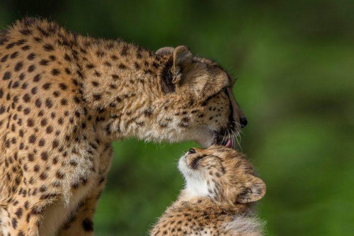 5 неща, които може да ви изненадат за гепардите