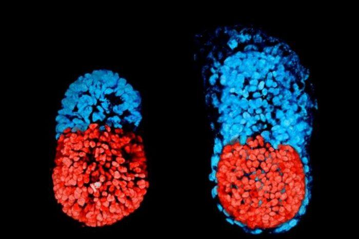 Създаден е първият миши ембрион от стволови клетки