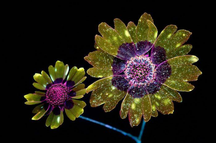Фотограф използва UV светлина за улавяне на блестящи кадри на флуоресцентни цветя