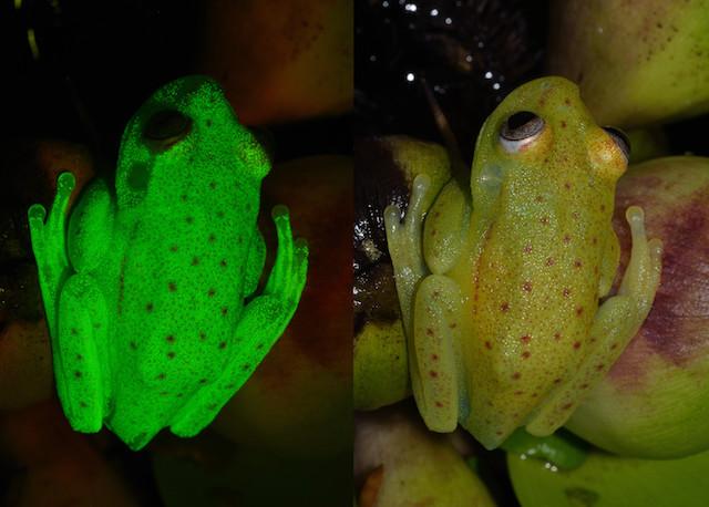 Учените откриха първата флуоресцентна жаба