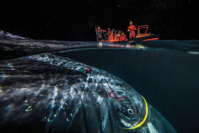 Хакер, гърбатият кит, който се заплете в интернет кабел