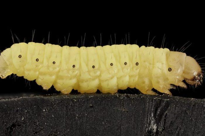 Открита е гъсеница, която се храни с найлонови торбички и оставя след себе си антифриз