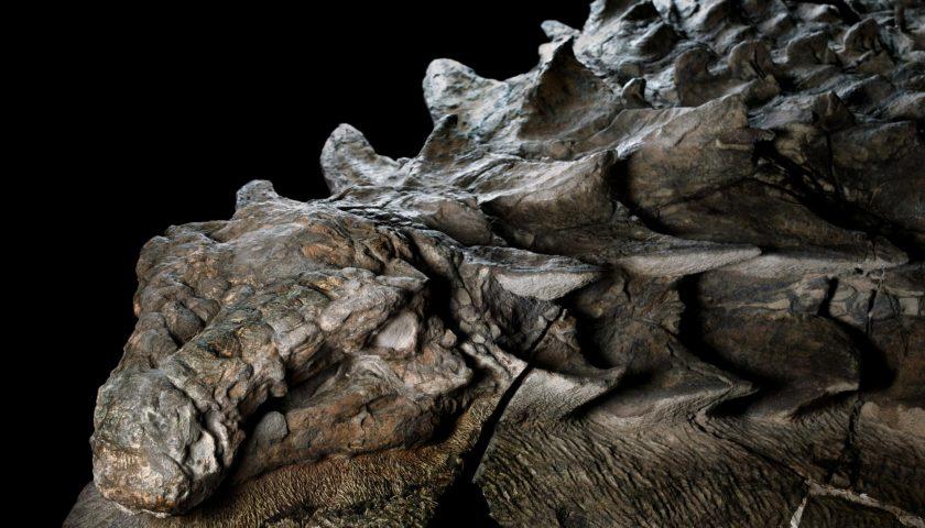 Зашеметяващо откритие. Преди около 110 милиона години, този брониран растителнояден динозавър се движел тежко сред днешна Западна Канада, докато една наводнена река не го отнесла в открито море. Подводното погребение на динозавъра запазило бронята му с изящен детайл. По черепа му все още има пластини, подобни на плочки и сива патина от вкаменена кожа. Credit: Robert Clark