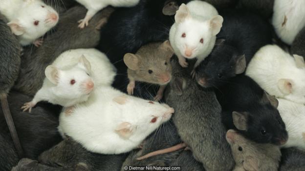 През 1980 година хибридна химера била създадена от два вида мишки. Credit: Dietmar Nill/Naturepl.com
