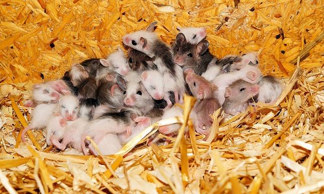 Мишка успешно се е размножила с 3D-принтирани яйчници