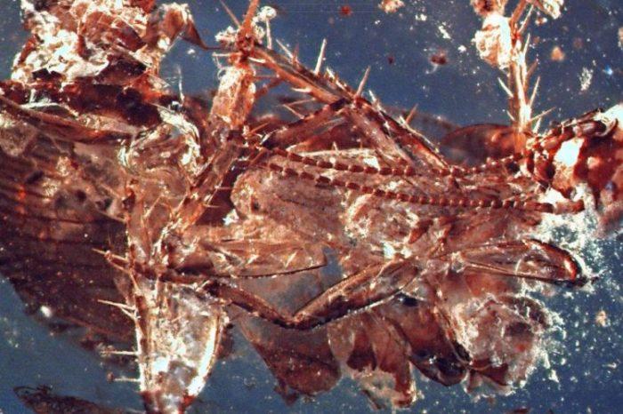 Най-древното отровно насекомо е било… хлебарка