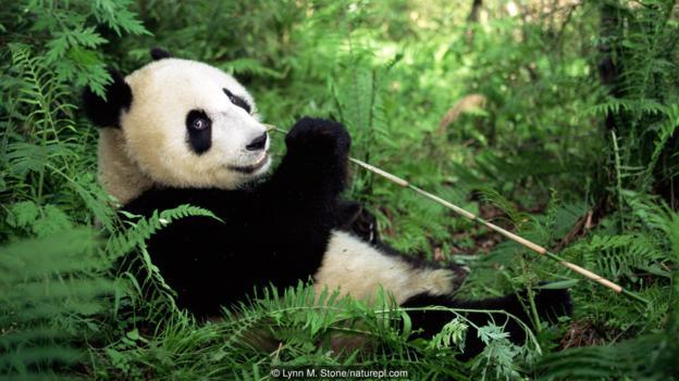 Голяма панда (Ailuropoda melanoleuca). (Credit: Lynn M. Stone/naturepl.com)Голяма панда (Ailuropoda melanoleuca). (Credit: Lynn M. Stone/naturepl.com)