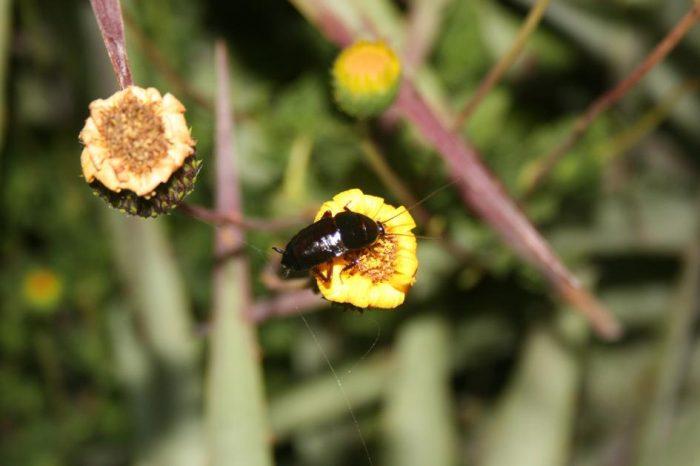 [АУДИО] Хлебарка, която може би опрашва цветята