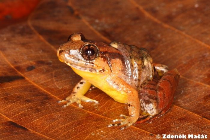 Женски жаби покоряват мъжките брачни ритуали