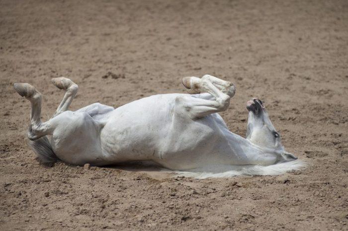 Лавандулата действа успокояващо на състезателните коне