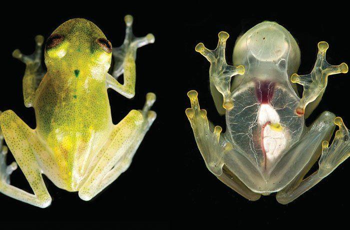 Стъклената жаба има сърце, което може да се види от всички