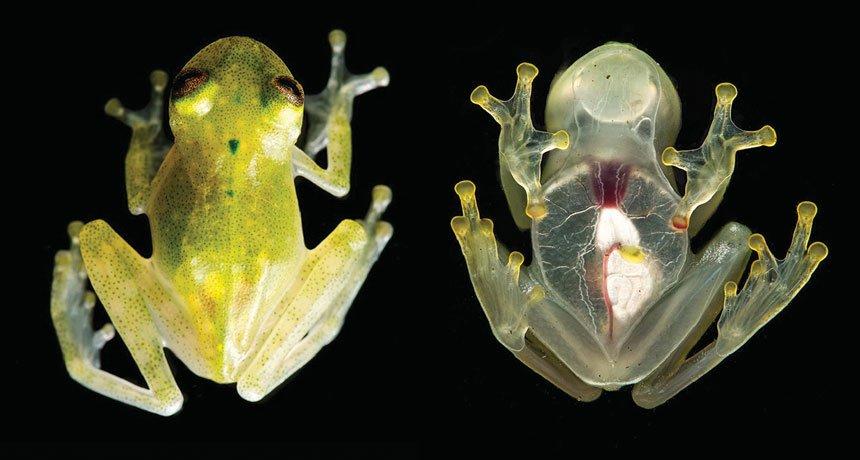 Новооткрита стъклена жаба (Hyalinobatrachium yaku) има толкова прозрачна кожа, че се вижда как бие сърцето ѝ. Credit: J.M GUAYASAMIN ET AL/ZOOKEYS2017