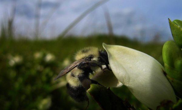 Земна пчела, събираща нектар, съдържащ вторични метаболити иридоидни гликозиди от растението Chelone glabra L. Credit: Leif Richardson