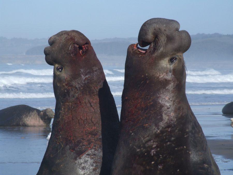 Мъжки северни тюлени се бият на Западното крайбрежие на щатски парк Año Nuevo, Калифорния. Снимка: Nicolas Mathevon