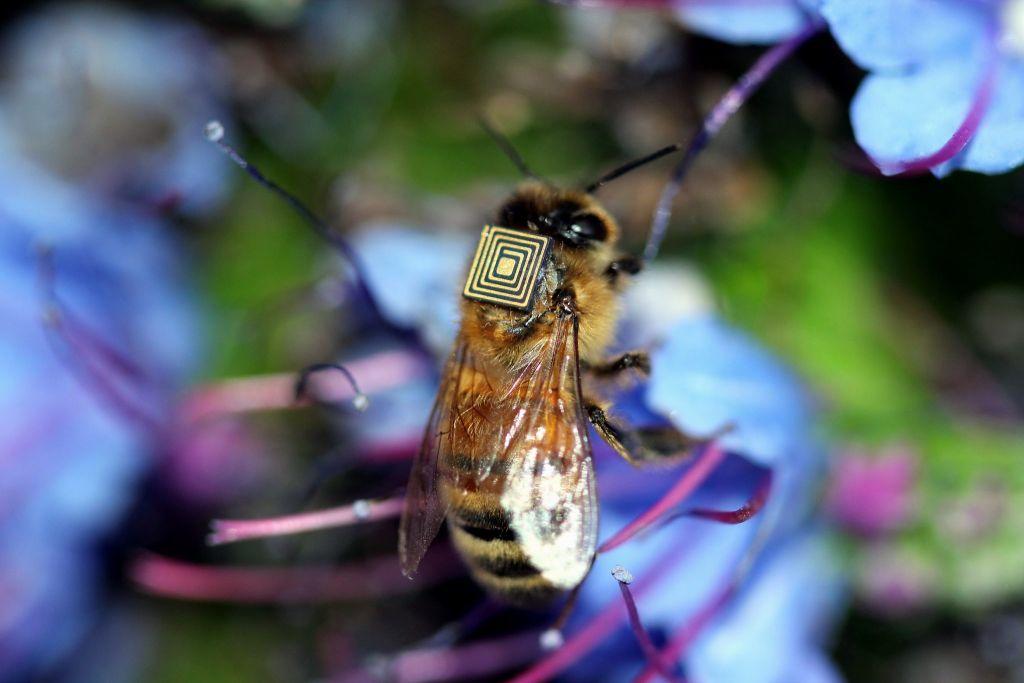 RFID е микрочип, който се монтира върху гърба на пчела работничка и позволява на биолозите да регистрират дневния летеж – напускане и прибиране в кошера. RFID използва радиовълни за локализиране на пчелата във всеки един момент в района на изследване.