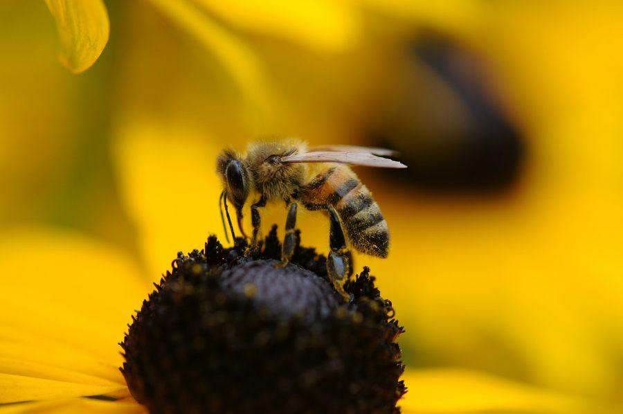 Медоносните пчели са с решаващо значение за човечеството. Една трета от нашата храна зависи от тях.