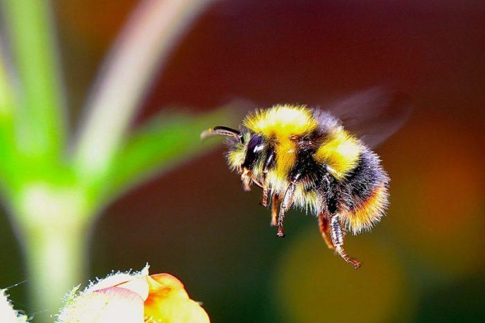 """От архива: Дори """"среднощното слънце"""" няма да накара земните пчели да работят през арктическите """"нощи"""""""