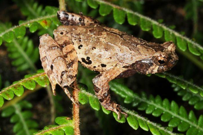 Учените са наименовали нов вид жаби от горите на Виетнам в чест на елфите