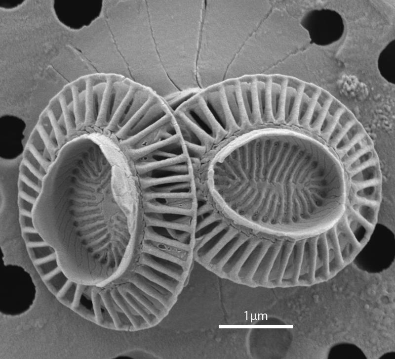 фиг. 2. Коколити на Emiliania huxleyi. Маркерът отговаря на 1 µm. Източник: http://www.mikrotax.org, по сканираща електронно-микроскопска снимка на Jeremy Young от Palaeontology Department, The Natural History Museum, London.