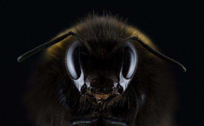 От архива: Биологичният часовник на пчелите е по-сходен с човешкия, отколкото с този на насекомите