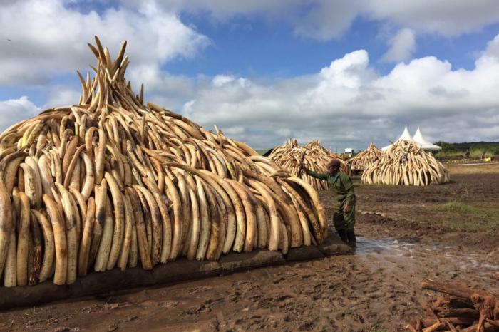 От архива: Според изследване легализирането на търговията със слонова кост няма да спаси слоновете