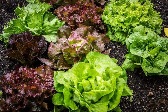Пакетираните, нарязани салати са идеална среда за салмонела
