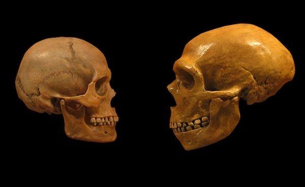 Човешки череп вляво и неандерталски – вдясно. Credit: Wikimedia Commons