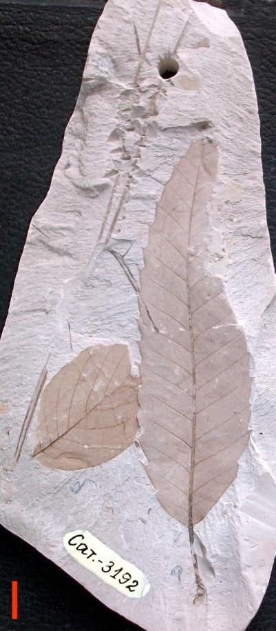 Листа от кестен, берхемия и иглички от бор