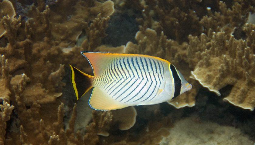 Лъчеперка Chevron Butterflyfish (Chaetodon trifascialis)