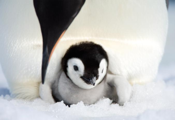 Императорски пингвини. Credit: Thorsten Milse, Picture Press/Getty Images
