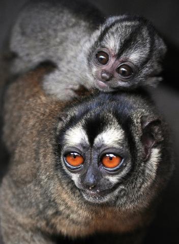 Нощни маймуни (мъжки в зоопарк и малкото му от 2009 година). Credit: Luis Behavides