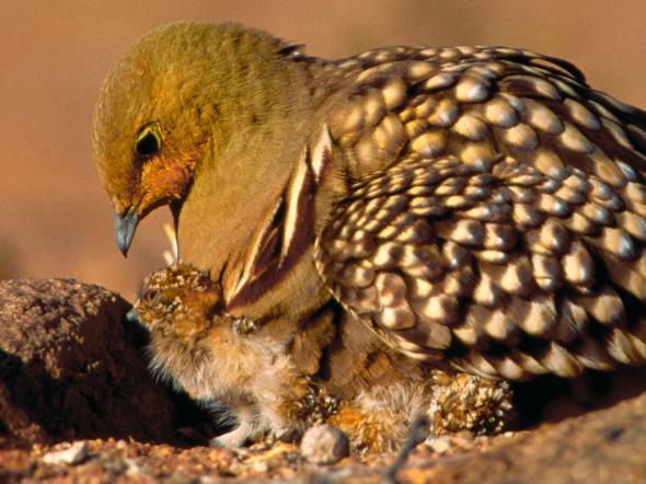 Птица Namaqua Sandgrouse. Credit: Peter Johnson, Cobris