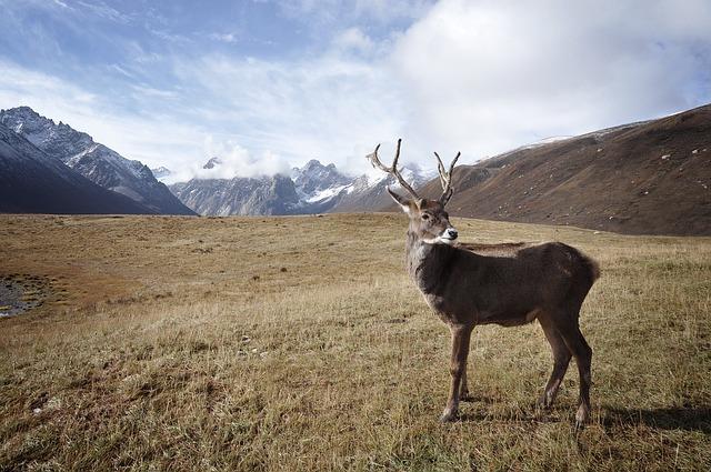 Северен елен карибу (Rangifer tarandus caribou)