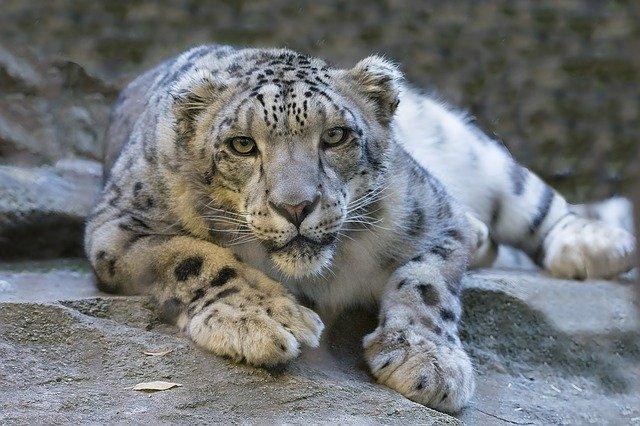 Снежен леопард (Panthera unica)