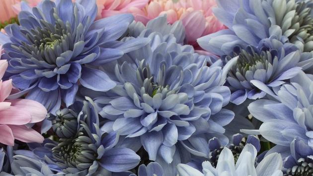 """""""Истински сини"""" цветя от хризантема, произведени с генно инженерство"""