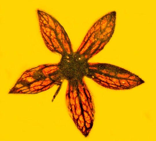 Tropidogyne pentaptera. Вкаменено цвете на 100 милиона години, идентифицирано и наименувано от изследователите на OSU Джордж Пойнар-младши и Кентън Чембърс. Credit: Image courtesy of George Poinar Jr., Oregon State University