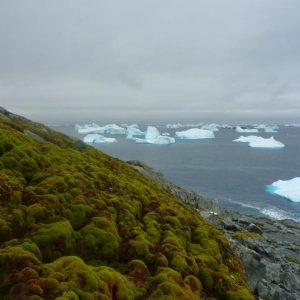 Необичайно голям брой айсберги могат да бъдат видени около покритото с мъх крайбрежие на Антарктида. Credit: Matt Amesbury