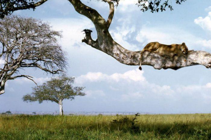 Експеримент в Уганда показва, че осребрените запазени дървета си струват