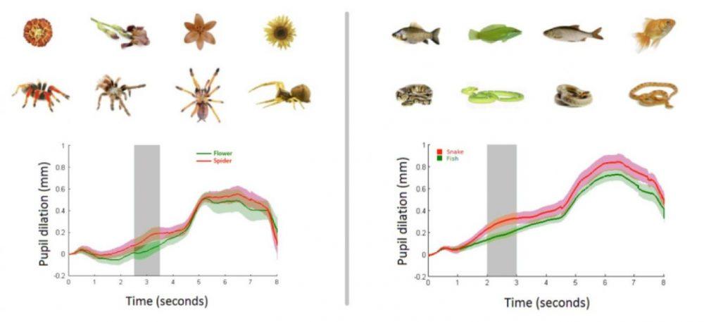Когато на бебета били показвани змия или паяк от втория ред вместо цвете или риба от първия ред (като размерът и цветът на картинките били еднакви в двата случая), зениците им се разширявали значително (червената крива показва реакцията към паяка и змията, а зелената – към цветето и рибата), което е ясен сигнал, че се чувстват напрегнати. Credit: Max Planck Institute for Human Cognitive and Brain Sciences