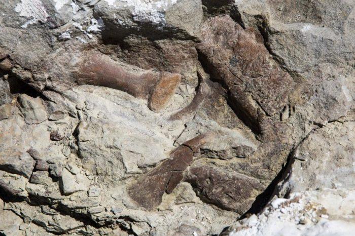 Костите на пръстите, горната челюст и муцуната от скелета на тиранозавър, открит в Националния монумент Гранд Стеъркейз Ескаланте (Grand Staircase-Escalante). Скелетът е най-добре запазеният сред намираните в югозападната част на Съединените Щати. Credit: Mark Johnston/NHMU