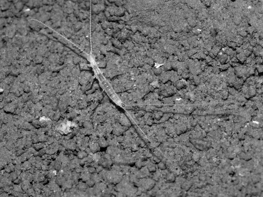 Turkmenocampa mirabilis. Credit: Alberto Sendra
