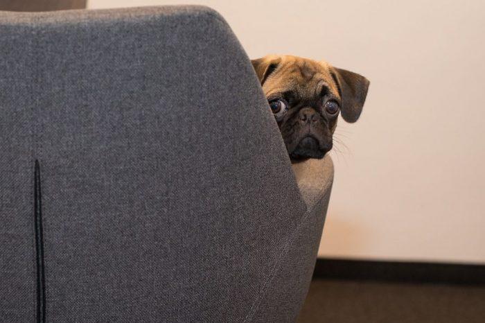 Кучетата са по-изразителни, когато някой ги гледа