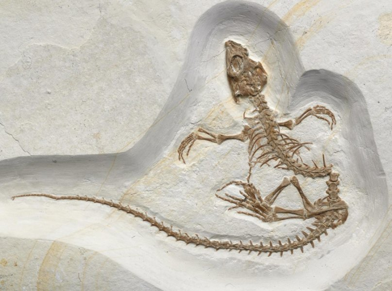 Фосил на Vadasaurus herzogi. Източник: Mick Ellison