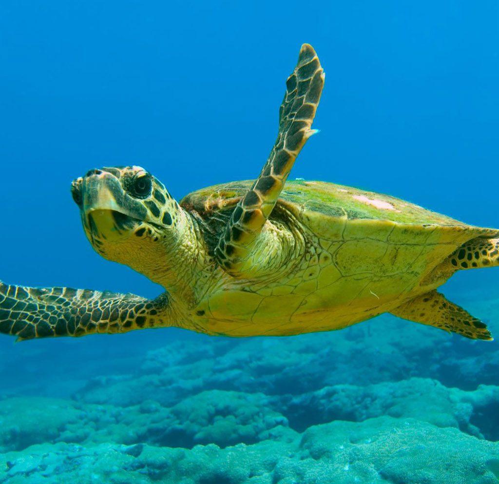 фиг. 3. Костенурката Карета е и една от атракциите на Средиземноморието. Източник: https://kefaloniaisland.org/stories/the-loggerhead-turtles-caretta-caretta-in-kefalonia